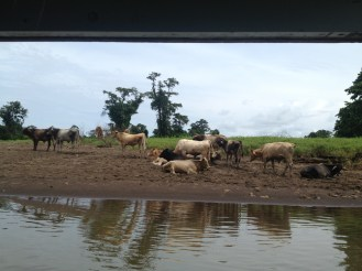 More cows on the way to Tortuguero.