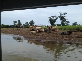 Cows on the way to Tortuguero.