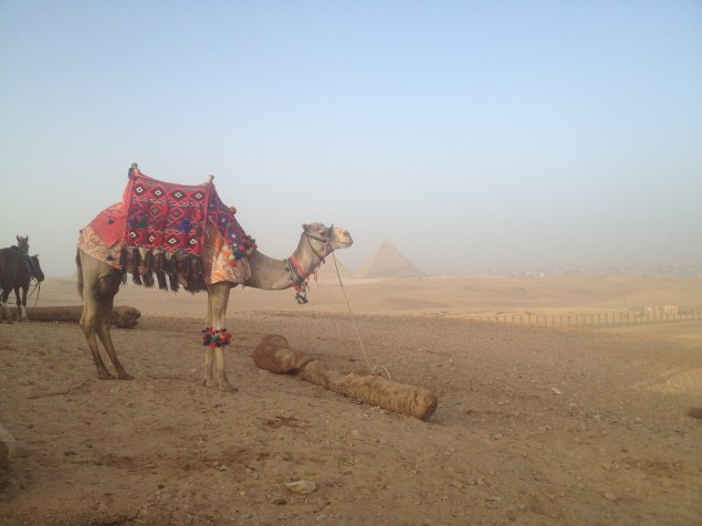Camel with the pyramids in the distance.