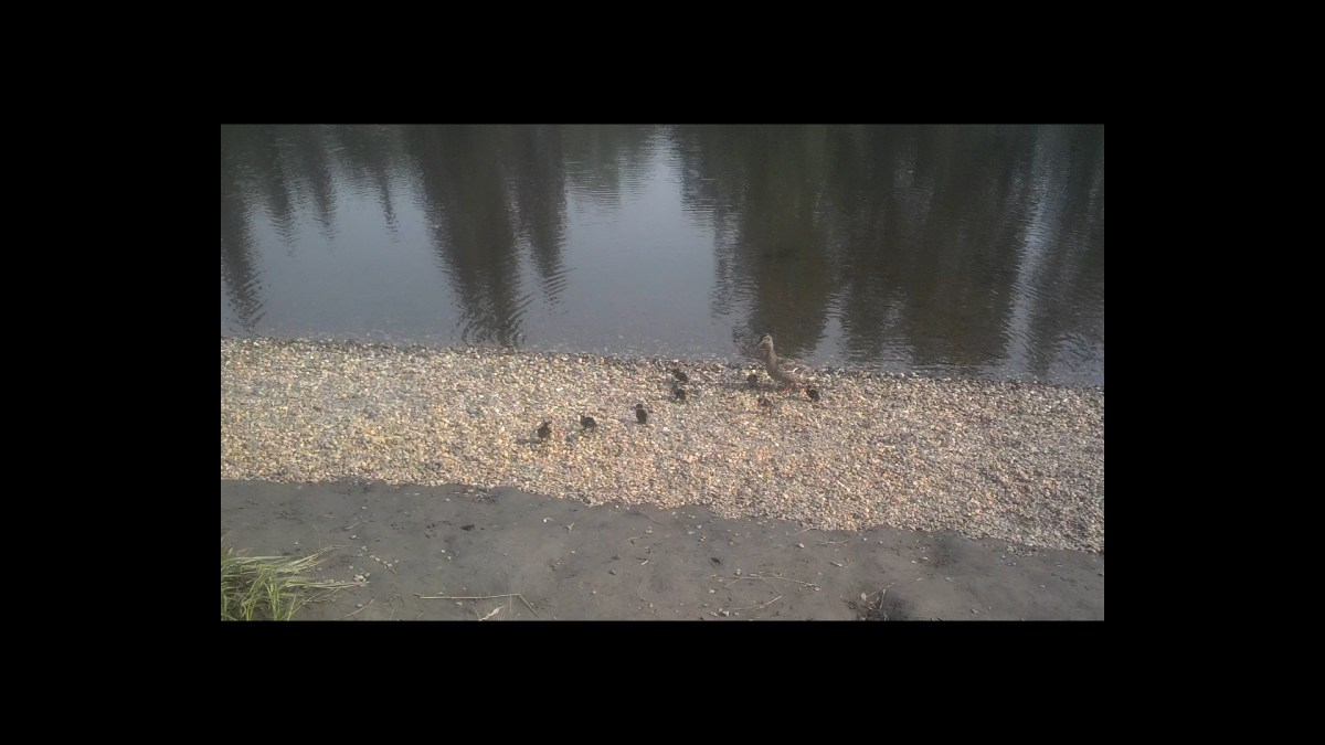 Baby Duckies in Fairbanks, Alaska