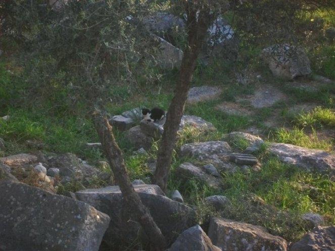 A Turkish cat at Didyma.