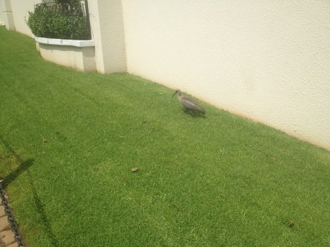 Sometimes we saw strange animals, like this bird, walking around outside our vacation rental in Johannesburg.