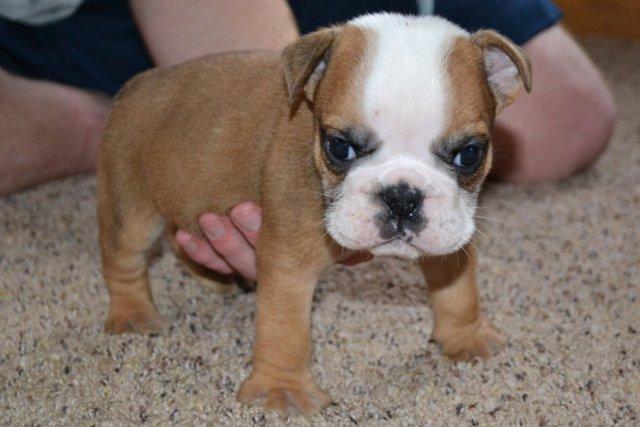 english bulldog puppy for sale | american bulldog puppies for sale