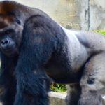 東山動物園でイケメンゴリラに会う