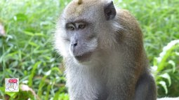 male macaque closeup
