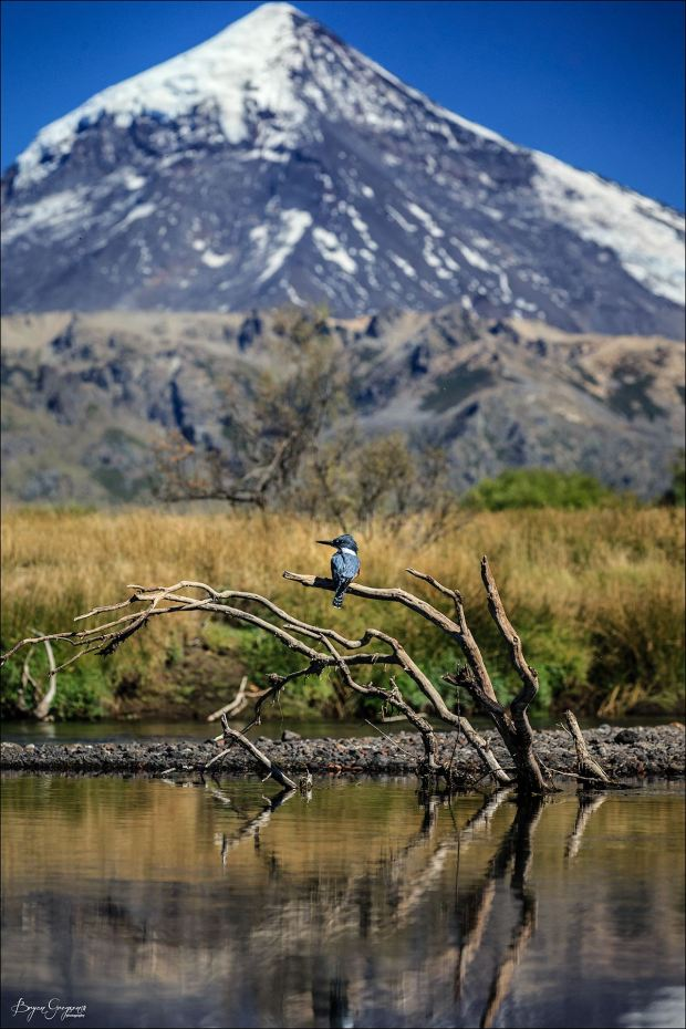 Martin Pescador_Argentina_Bryan gregson_Kingfisher