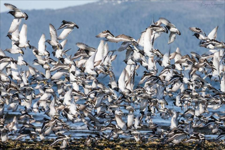 Shorebirds_South East Alaska_Bryan Gregson_hatch Outdoors
