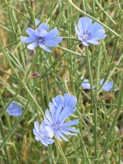 Blue flower 3