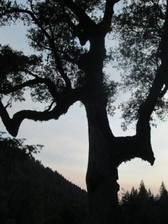 Poken Oak 17