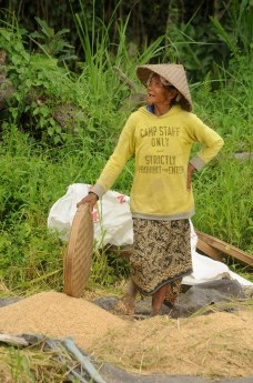 Woman pauses from work in a rice field, Bali.