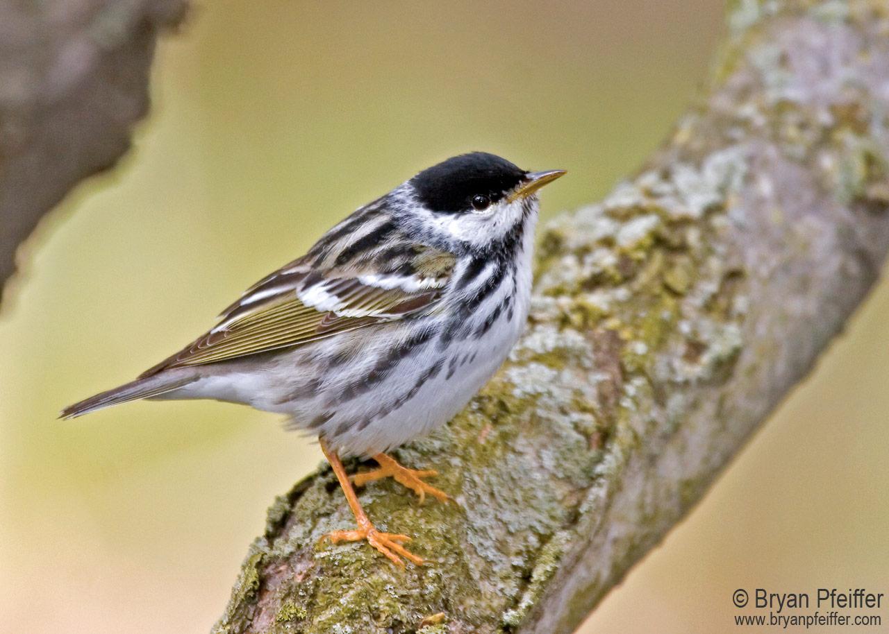 blackpoll-warbler-bryan-pfeiffer-1280