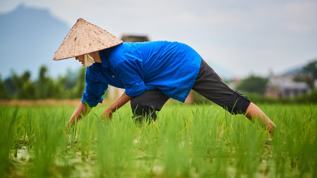 Vietnamese woman working in rice field