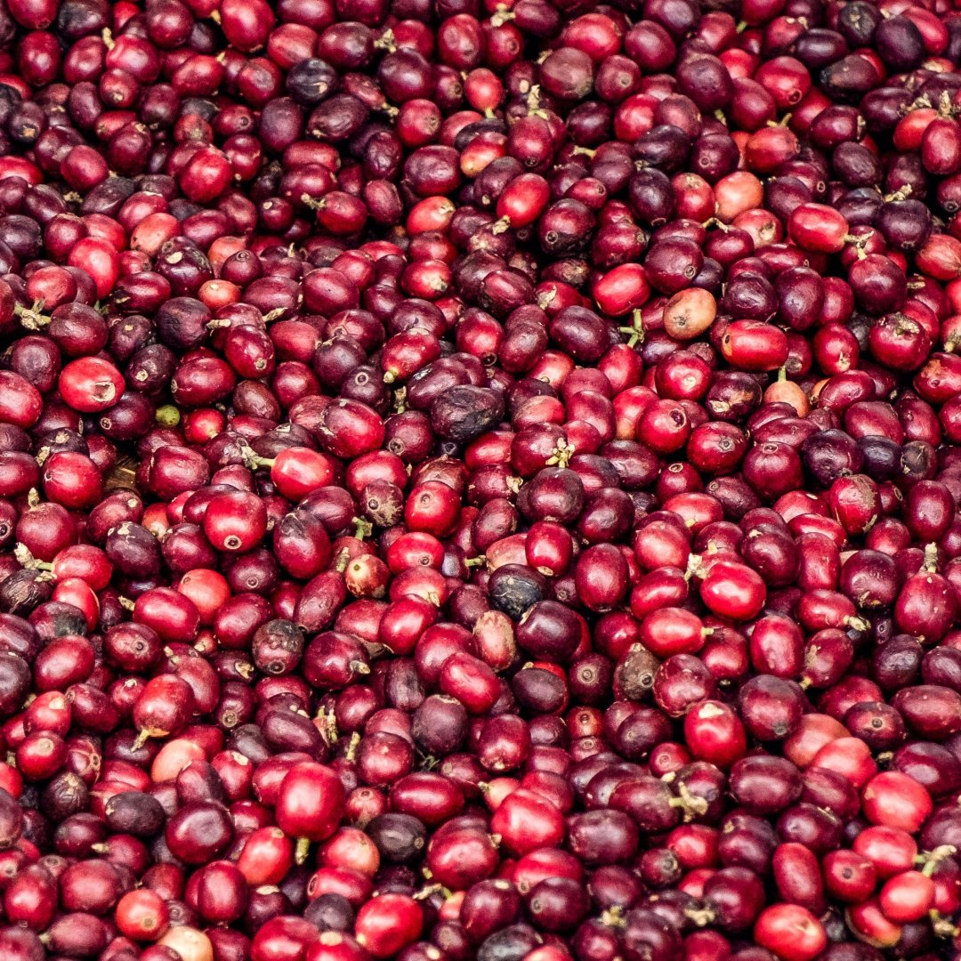 Coffee cherries on a farm in Yunnan, China