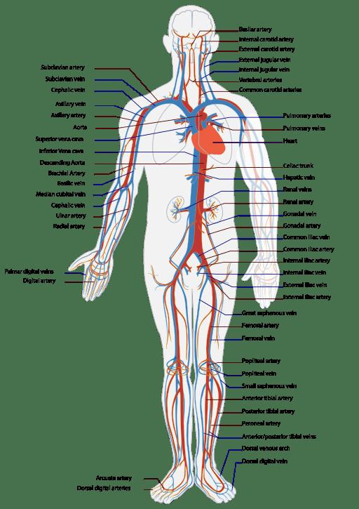 512px-Circulatory_System_en.svg