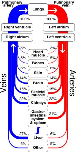 Sankey_diagram_human_circulatory_system.svg