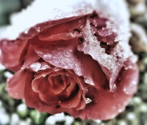 Rose in Winter
