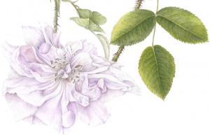 Rosa damascena (4).tif