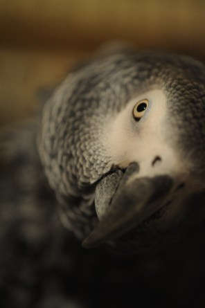 Curious African Grey Parrot.