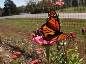 Butterfly at Bloomington Community Orchard on Oct. 19, 2019 (Dave Askins/Beacon)