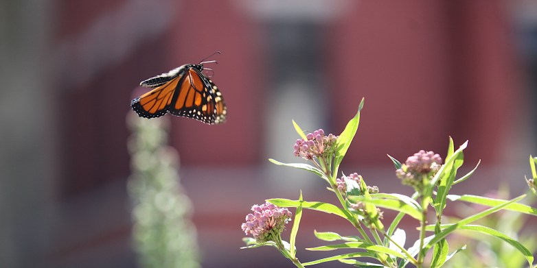 cropped 2020-08-05 butterfly in flight IMG_5912