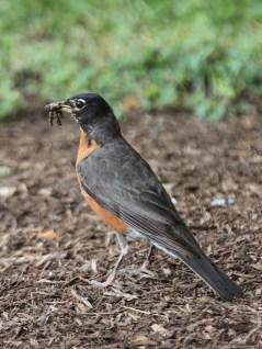 American robin (Turdus migratorius) outside the Indiana University Poplars parking garage on 6th Street. (June 30, 2021)