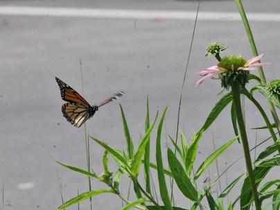 2021-07-18 butterflies IMG_4539