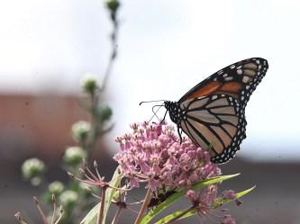 2021-07-18 butterflies IMG_4577