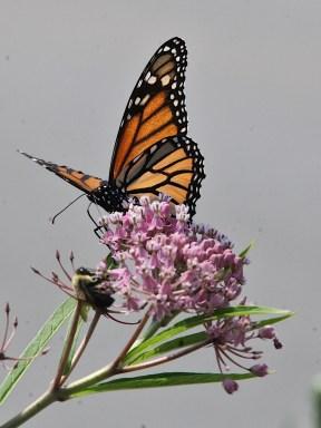 2021-07-18 butterflies IMG_4584