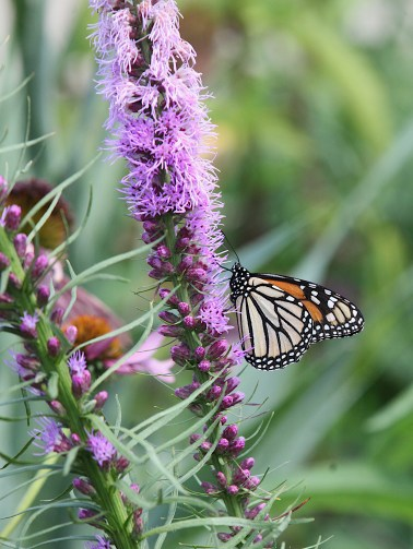 2021-07-18 butterflies IMG_4615