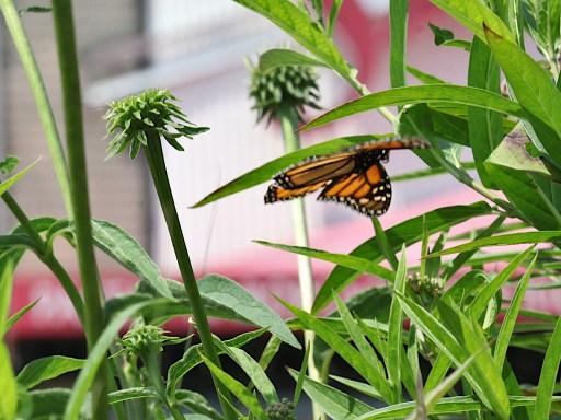2021-07-18 butterflies IMG_4641 (1)