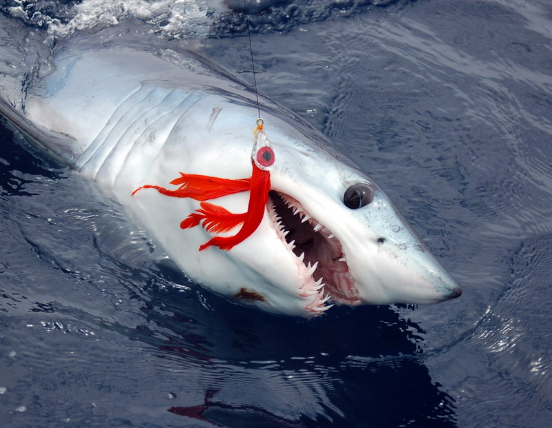 A major target for shark fishing-the shortfin mako