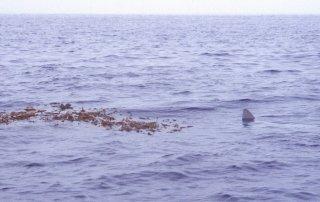 Mola mola on a kelp paddy