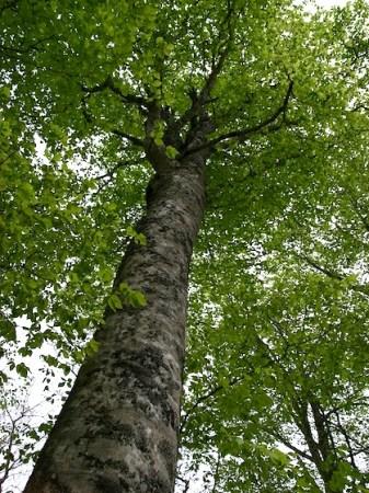 奥羽のブナの森で