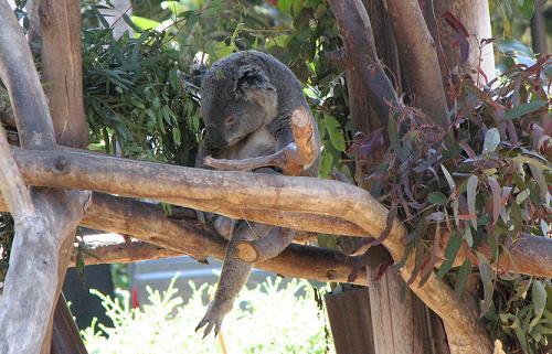 lacruise-koala.jpg