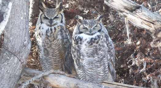 Calgary Zoo - Great Horned Owl