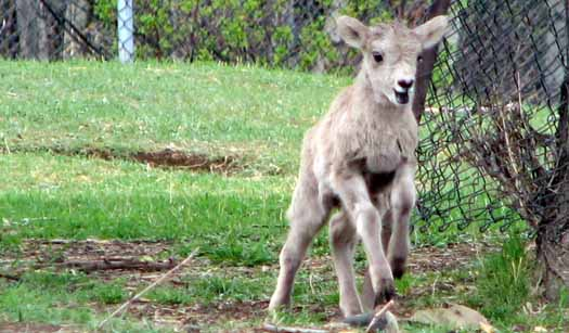 Valley Zoo - Baby Bighorn Sheep