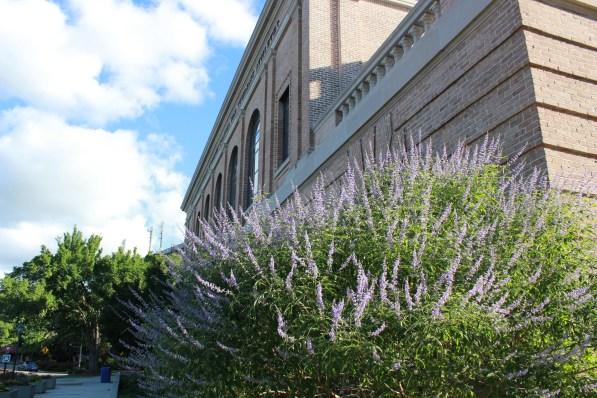 LSU Purple Flowers