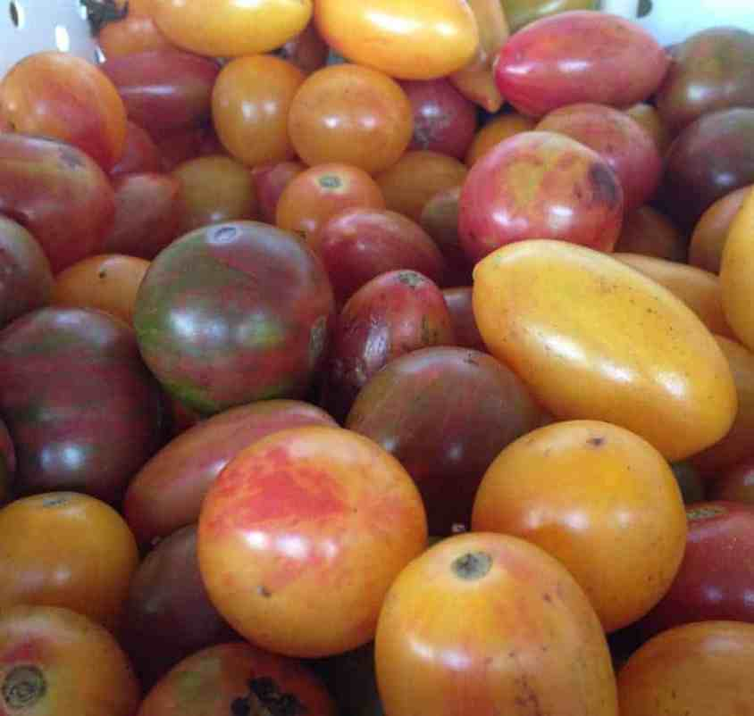 Different kinds of tomatoes range in size as well as color, from plum-dark golf balls to yellow-orange ones I could barely hold in one hand. Photo by Kate Abbott