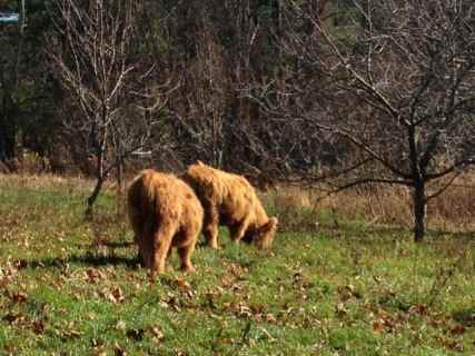 Highland heifers graze at Climbing Tree Farm in new Lebanon, N.Y. Photo by Kate Abbott