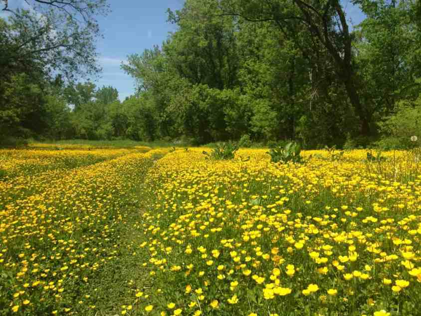 A blaze of buttercups has grown across the trail. Photo by Kate Abbott