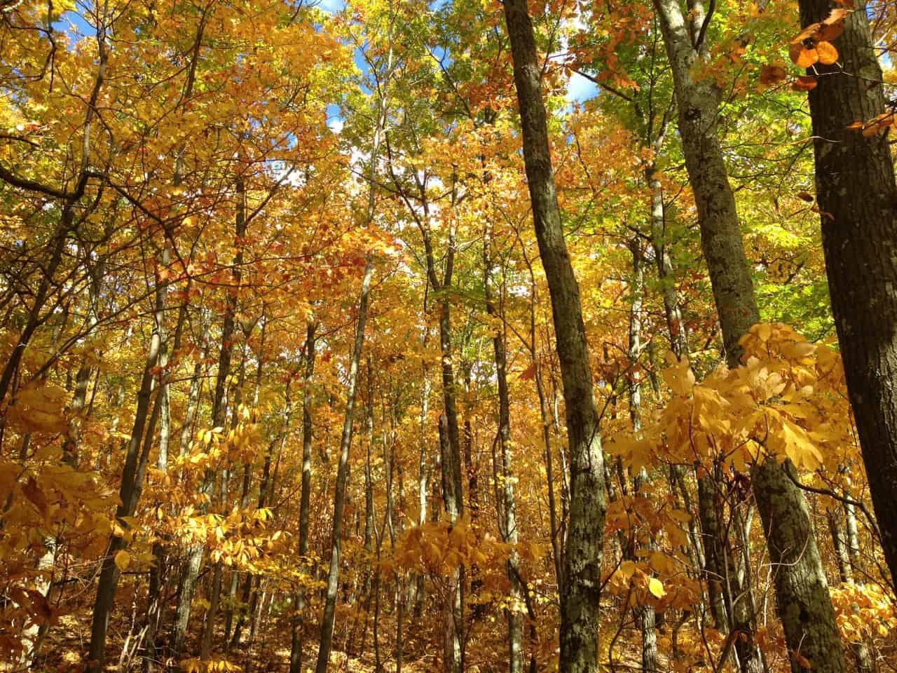 Sassafrass, maple, birch, beech and ash share an intense hue in the Berkshire woods. Photo by Kate Abbott
