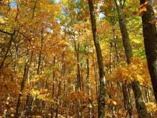 Sassafrass, maple, birch, beech and ash share an intense hue in the Berkshire woods. Photo by Kate Abbott
