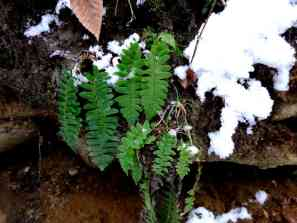 Christmas Fern another evergreen that received its name from being green at Christmastime and once was used in holiday decorations, and common in moist, shady woods. Photo by Thom Smith