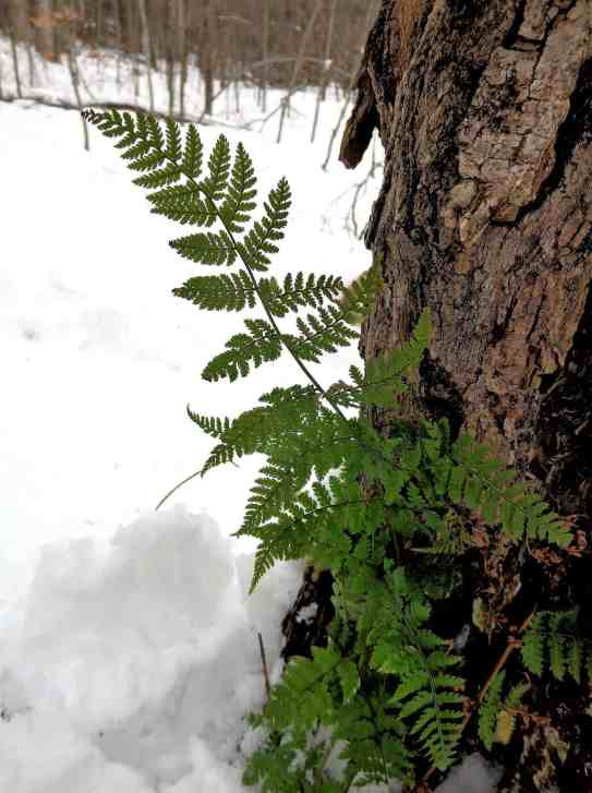 Evergreen Wood Fern are unlike most other ferns that are sensitive to frost. These two remain green throughout the winter and along with shrubs like holly and rhododendron make attractive landscape additions when planted in shady places. Photo by Thom Smith