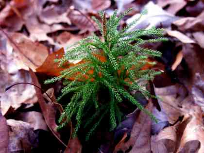 Princess Pine, running ground pine, club moss or Christmas green are all common names for this slow growing woodland groundcover, once harvested to excess for wreath making. A better alternative is white-pine boughs with pine cones. Although diminutive today, 300 million years ago, club mosses attained the size of trees and contributed to the formation of coal deposits. Photo by Thom Smith