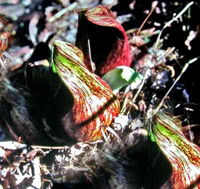 Skunk Cabbage is one of the earliest plats to appear in the spring. Photo by Thom Smith