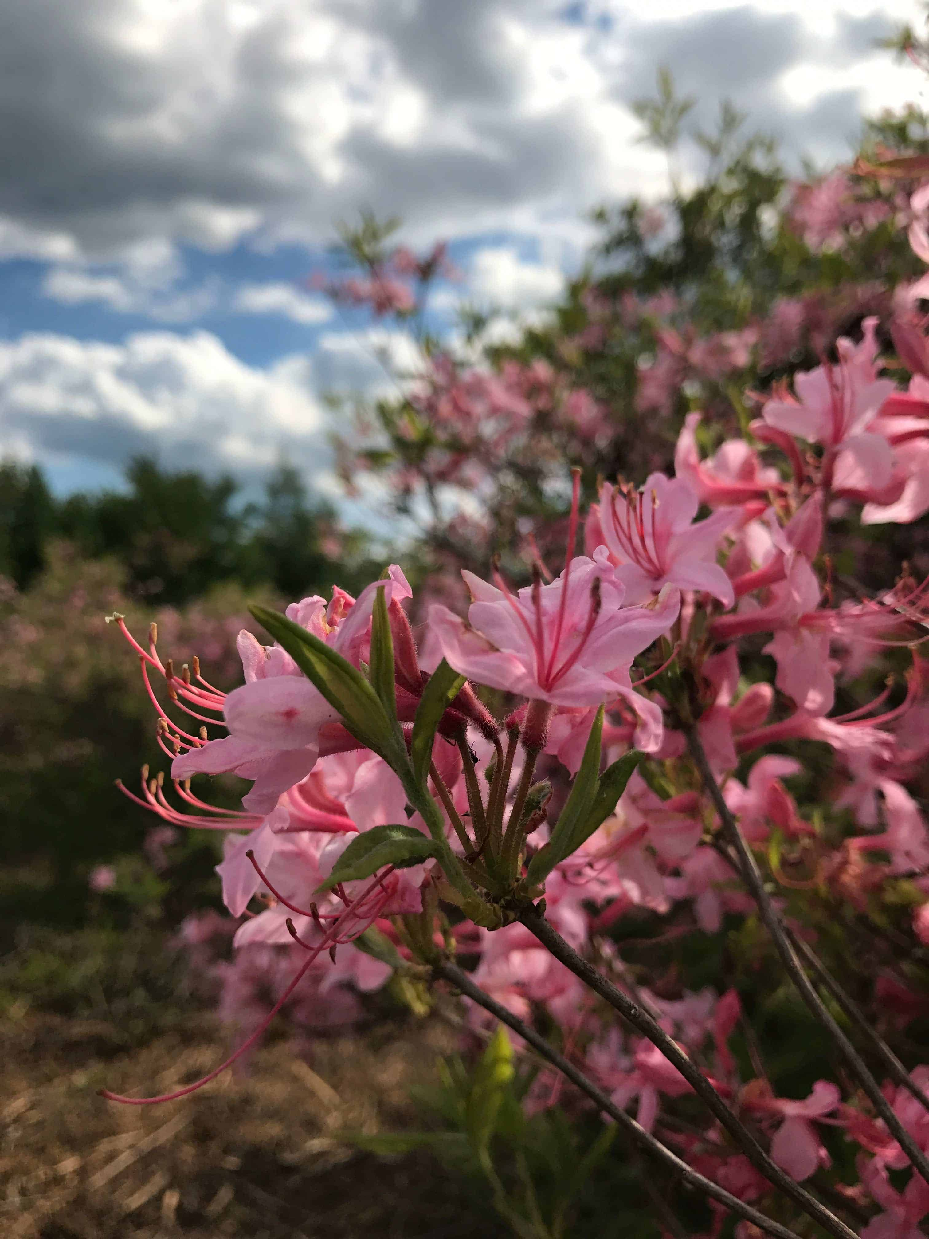 Azaleas are in full bloom in Pittsfield State Forest. Photo by Kate Abbott