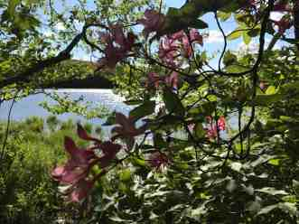 A few azaleas have even made it downhill to the shore of Berry Pond. Photo by Kate Abbott