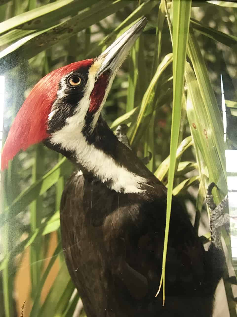 Bernard Isaacson's 'Pileated Woodpecker' makings a striking show on a warm day. Photo by Kate Abbott