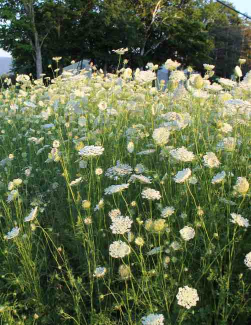 A thick stand of Queen Anne's Lace blooms along Benedict Road.